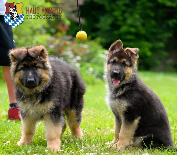 German Shepherd Puppies German Shepherd Breeder