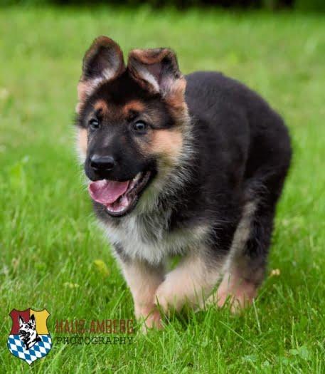 Ken Puppies 10