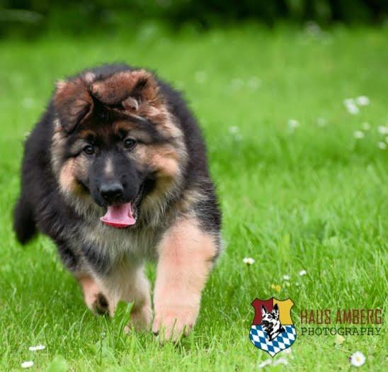 Ken Puppies 12