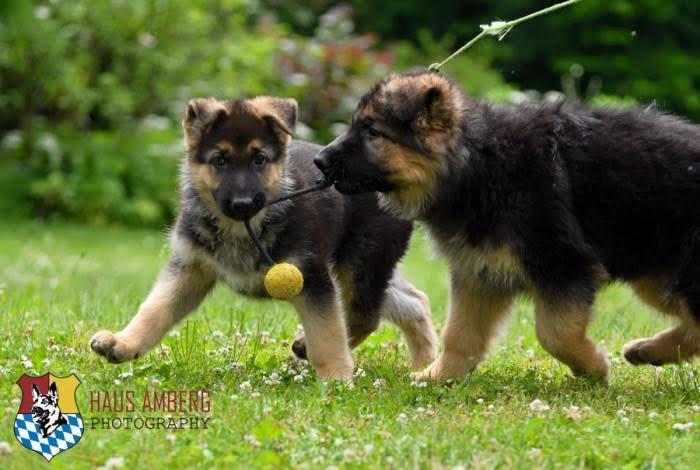 Ken Puppies 13