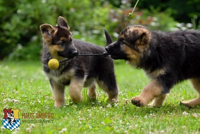Ken Puppies 5