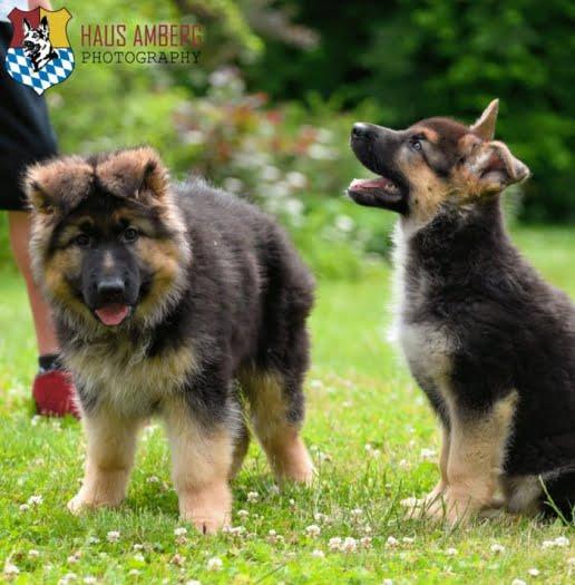 Ken Puppies 7