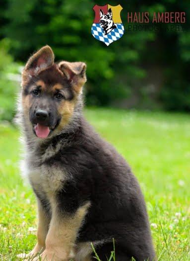 Ken Puppy 8