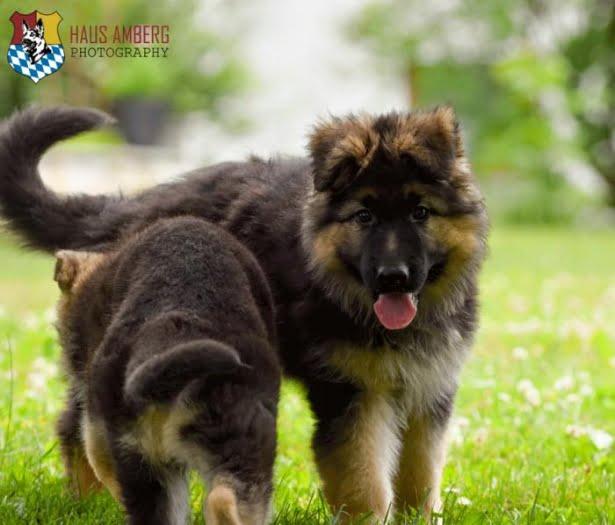 Ken Puppies 9