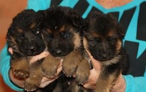 Ken-Dana female puppy