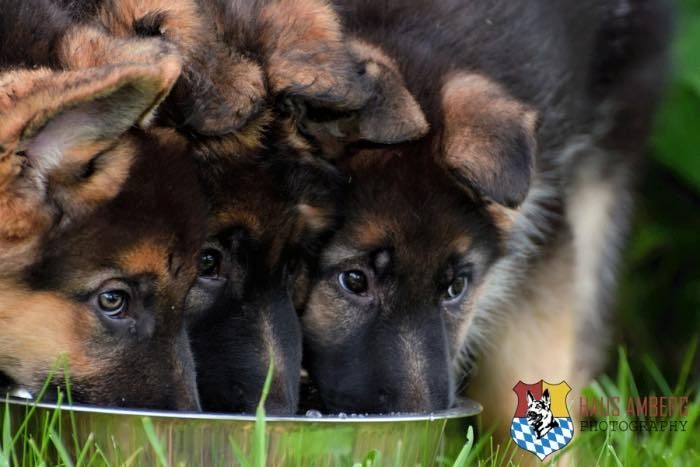 ken_puppies4